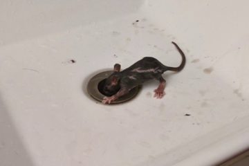 Brooklyn couple shaken after seeing rat emerge from bathroom sink drain